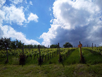 rows of grapevines under a blue, slightly cloudy sky in spring