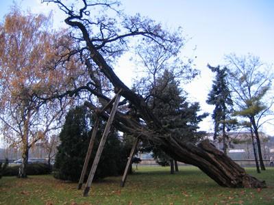 oldest_tree_budapest